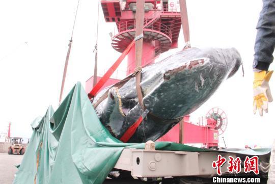 搁浅大亚湾海域抹香鲸被吊机吊上岸 将制成标本