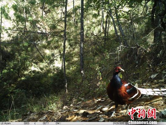 云南巍山首次拍到国家一级保护动物黑颈长尾雉