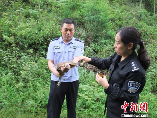 图为森警对白腹锦鸡进行伤口处理 钟欣 摄