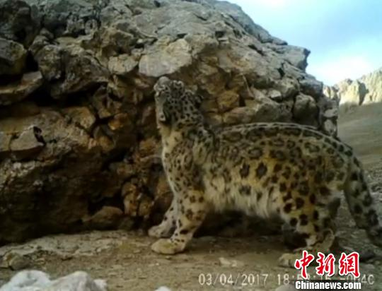 据悉,那曲地区拥有藏羚羊、野牦牛、雪豹等共计40余种珍稀野生动物。图为红外相机监测到的雪豹活动画面。广州市远望野生动物保护服务中心供图