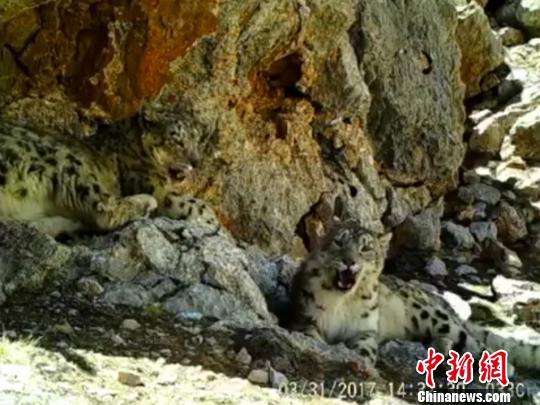 图为红外相机监测到的雪豹活动画面。广州市远望野生动物保护服务中心供图