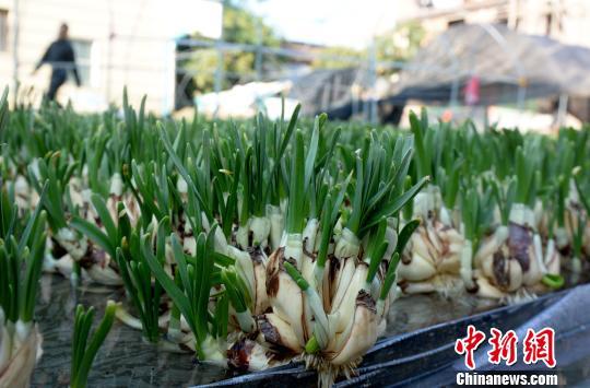 临近春节,漳州市区的大街上许多门店都摆起了葱绿的水仙。 张金川 摄