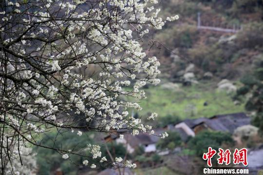 李花掩映下的村庄,分外美丽。 谭凯兴 摄