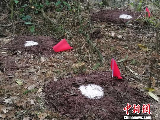 图觅伐后的疫木伐桩停止处置。云北省林业战草本拘些图