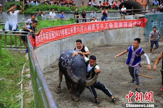 7月5日,在�F州省榕江�h�防镦�斗牛�觯�救牛��T在捉牛。 李�L�A �z