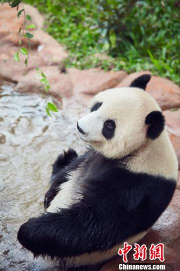 大熊猫泡澡。海南热带野生动植物园供图