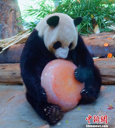 """大熊猫吃""""冰蛋糕""""。海南热带野生动植物园供图"""