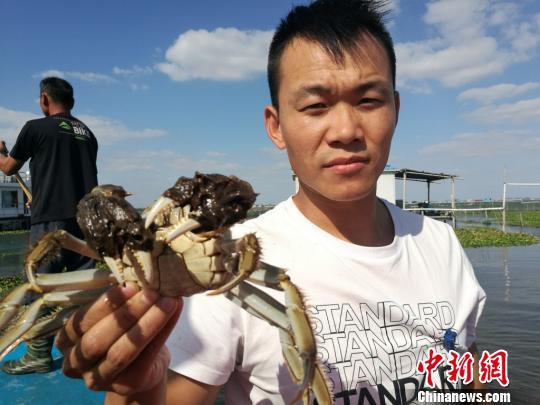 随着水质改善和养殖技术进步,大闸蟹的个头和品质正逐年增加。 钟升 摄