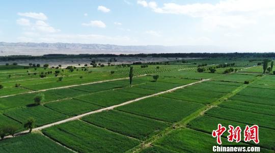 易地搬迁移民后,启浪乡成为柯坪县最大的经济作物区,棉花种植面积达4.2万亩。 陈玲 摄