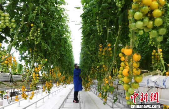甘肃前三季经济作物较快增长农村居民收入增长快于城镇