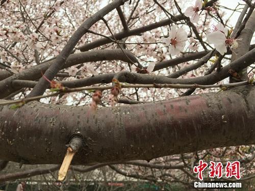 专家解读称,樱花树干呈紫褐色,图为北京玉渊潭公园樱花树树干.汤琪 摄