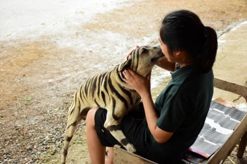"""秋秋变身""""老虎"""",以假乱真。(图片来源:泰国《世界日报》)"""