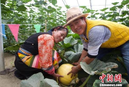 资料图:西藏金嘎村村民在温室内管理新品种太空南瓜。 筱康 摄
