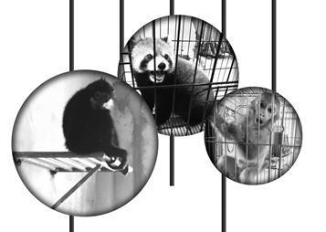 被解救后的红颊长臂猿元元暂时在苏州动物园落脚。
