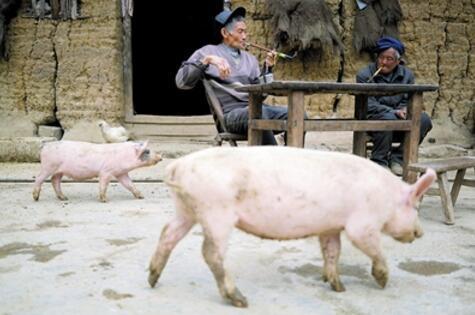 黄隆明在和邻居聊天,猪儿一直围着他俩转。