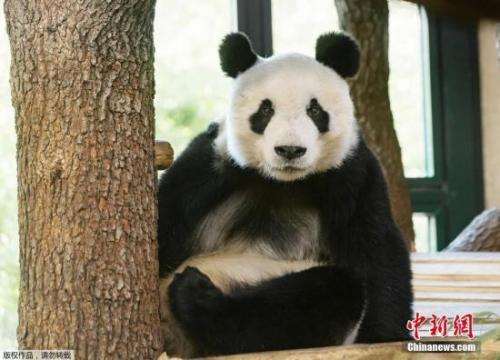 """当地时间2019年4月17日,奥地利维也纳,大熊猫""""园园""""在当地动物园内活动。"""