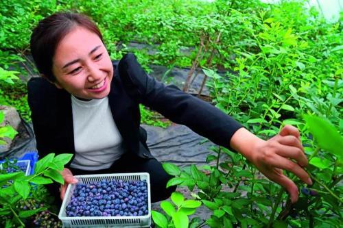 伊春市友好区万亩蓝莓基地采摘园工作人员正在采摘蓝莓 王松摄