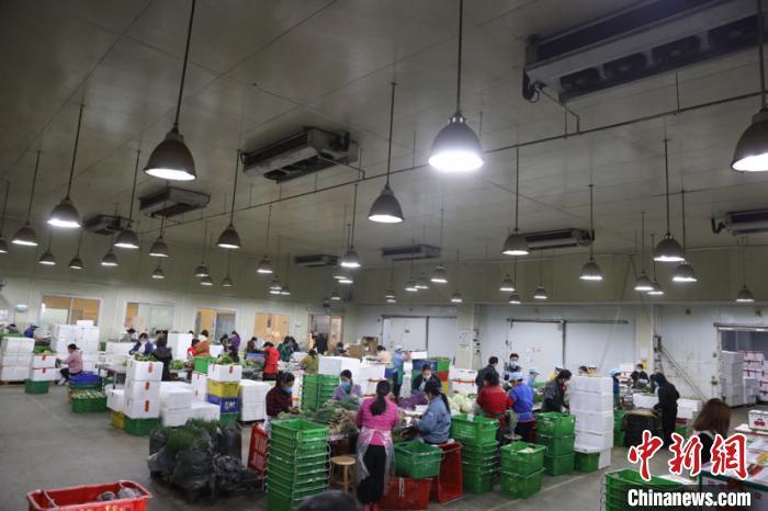 资料图:东升农场加班分拣蔬菜现场。