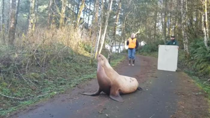 当地野生动物保护部门的官员试图围捕这头迷路的海狮。(图片来源:考利兹郡警长办公室视频截图)