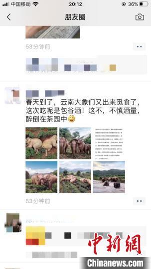图为微信朋友圈疯传的大象醉倒茶园照片。 微信朋友圈截图