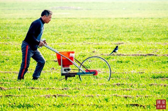 农民在冬小麦田进行田间管理 中新社发 王子瑞 摄