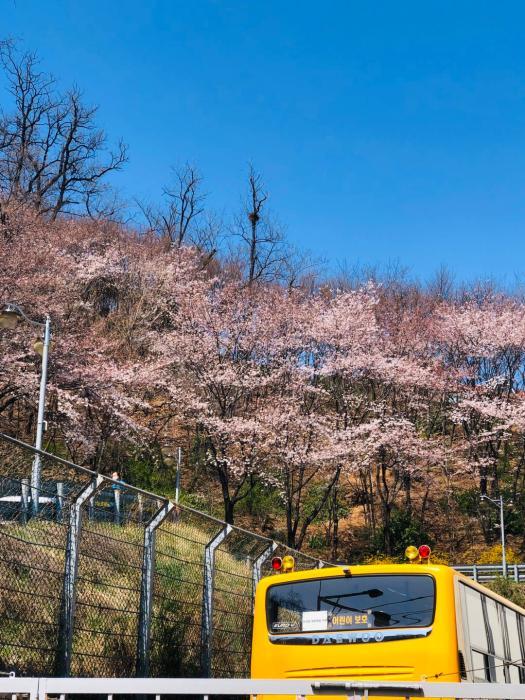 邱丽学校后山的樱花。