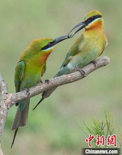 """数千只""""中国最美丽的鸟""""栗喉蜂"""