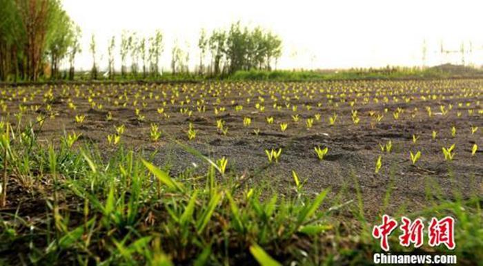 """资料图:""""立夏""""节气预示着春天结束,夏天到来。图为晨光中张掖甘州区田野的玉米苗正在茁壮成长。 陈礼 摄"""