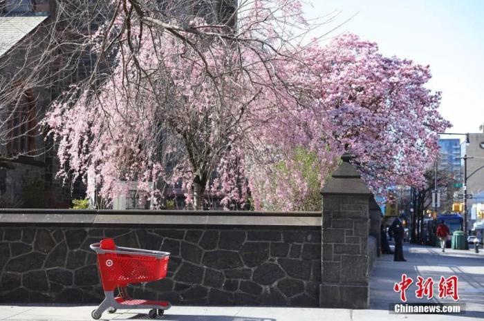 当地时间4月6日,纽约法拉盛华人社↑区,缅街路旁樱☆花盛开。
