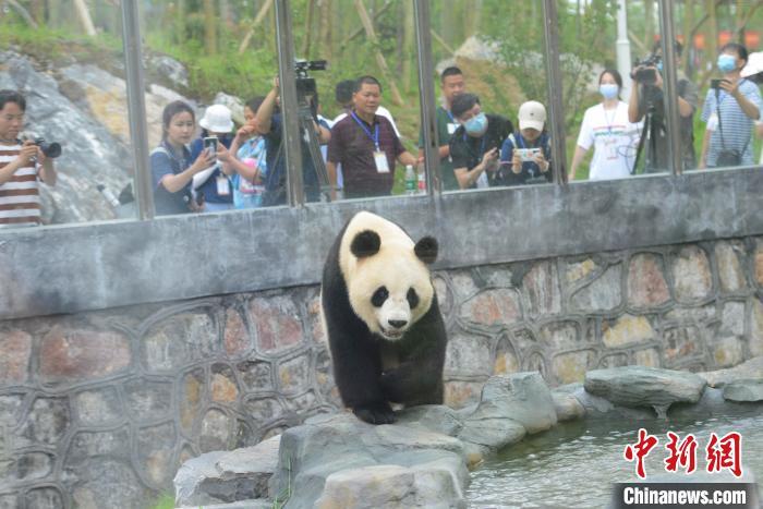 """游人与记者拍摄熊猫""""龙�N""""。 杨华峰 摄"""