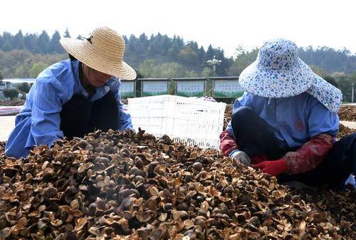 △在河南省信阳市光山县一油茶基地,工作人员在分拣油茶果。