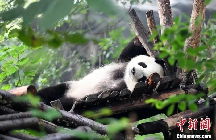 资料图:大熊猫宝宝们在熊猫乐园卖萌,憨态可掬。安源 摄