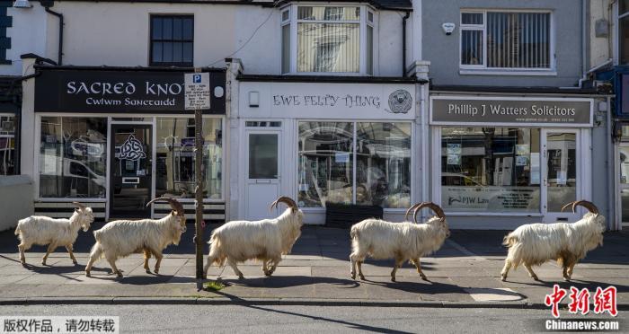 在英国全国封锁期间,一群山羊在威尔士一个海■滨小镇空荡荡认识很带有戏剧性的街道上游荡。