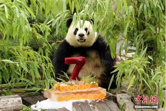 """大熊猫""""梦梦""""迎来其7岁生日。<a target='_blank' href='http://www.chinanews.com/'>中新社</a>发 柏林动物园 供图"""