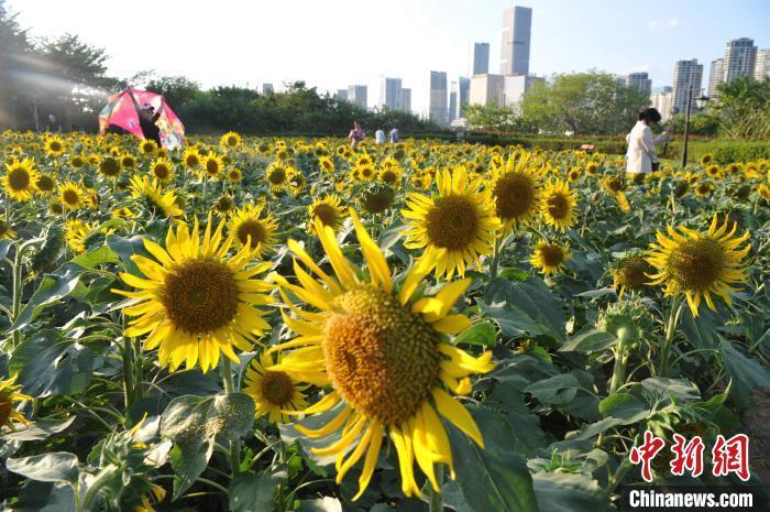 图为福州花海公园向日葵盛开,吸引民众前来游玩。 张斌 摄