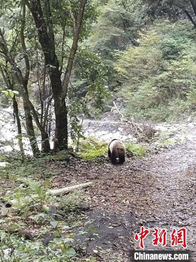 四川平武:野生大熊猫现身林间小道 路中悠闲玩耍