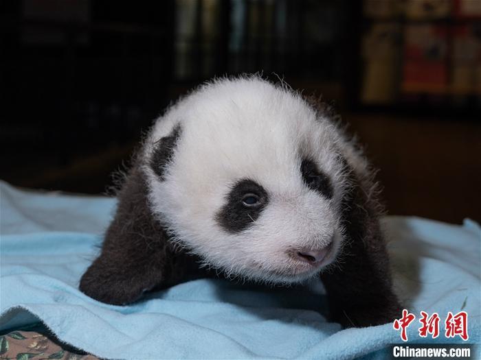 """当地时间10月29日,美国华盛顿国家动物园对外表示,旅美大熊猫""""美香""""产后食欲已恢复正常,新生雄性幼崽茁壮成长,已经""""胖了一圈""""。图为10月21日拍摄的""""美香""""新生幼崽。中新社发 华盛顿国家动物园 供图"""