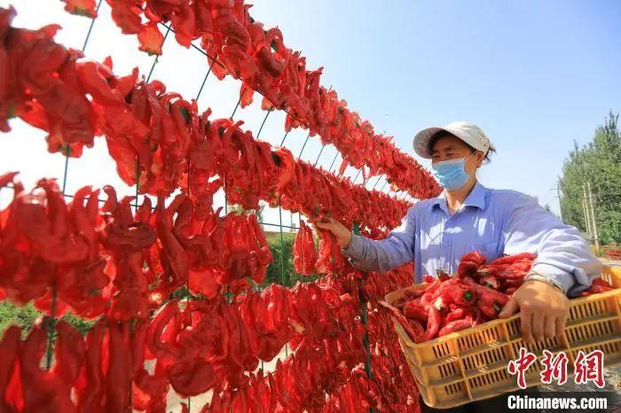 新疆博湖县塔温觉肯乡哈尔恩根村村民正忙着晾晒辣椒。 年磊 摄