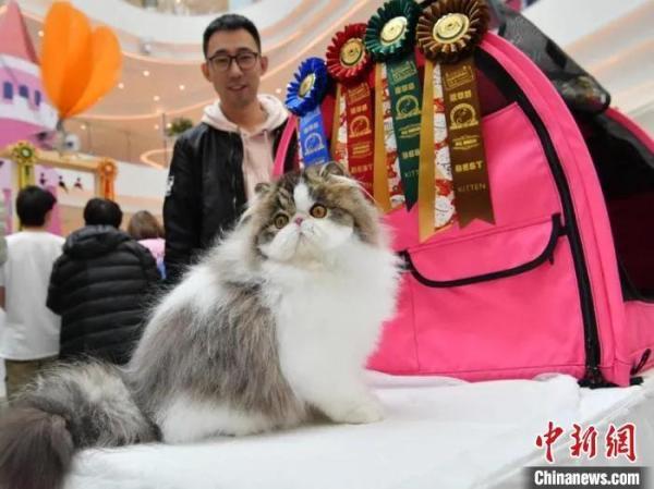 资料图:4月18日,一场名猫大赛在长春市举行,吸引来自中国多地的猫咪主人携宠物参赛。张瑶 摄