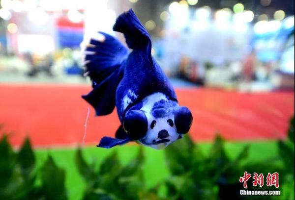 资料图:金鱼。王东明 摄