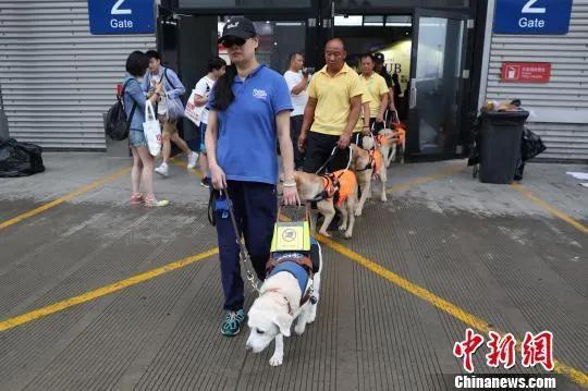 资料图:导盲犬引导失明者前行。张亨伟 摄