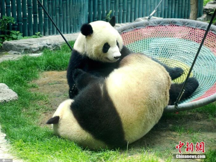 6月28日,北京动物园的大熊猫双胞胎姐妹萌宝和萌玉在一起嬉戏打闹。杜建坡 摄 图片来源:IC photo