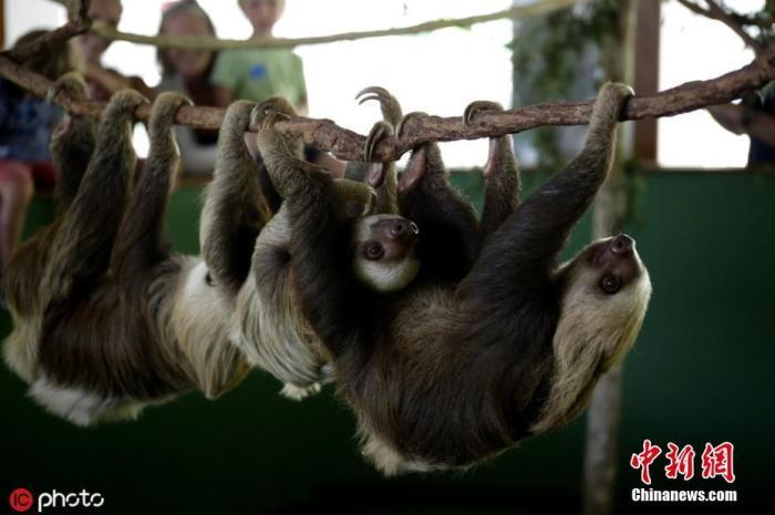 资料图:巴拿马巴拿马城,树懒庇护所里,树懒挂在爬架上玩耍。 图片来源:东方IC  版权作品 请勿转载