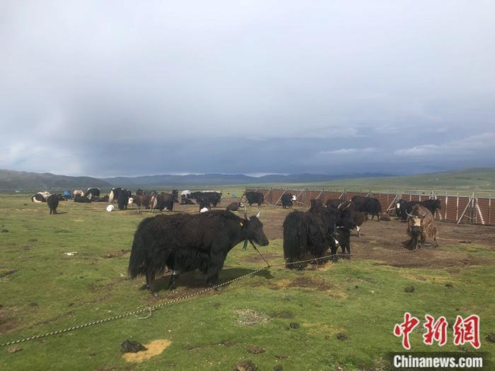 色尼区嘎尔德畜牧业示范基地上的牦牛。 <a target='_blank' href='http://www.chinanews.com/' >中新网</a> 左宇坤 摄