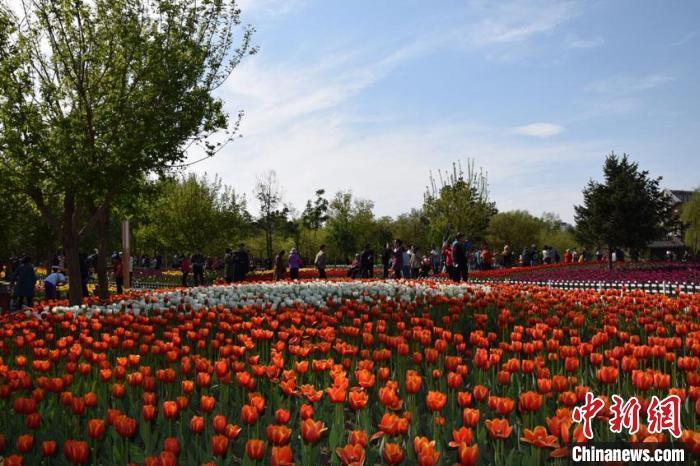 资料图:盛放的郁金香吸引了无数市民前来观赏。