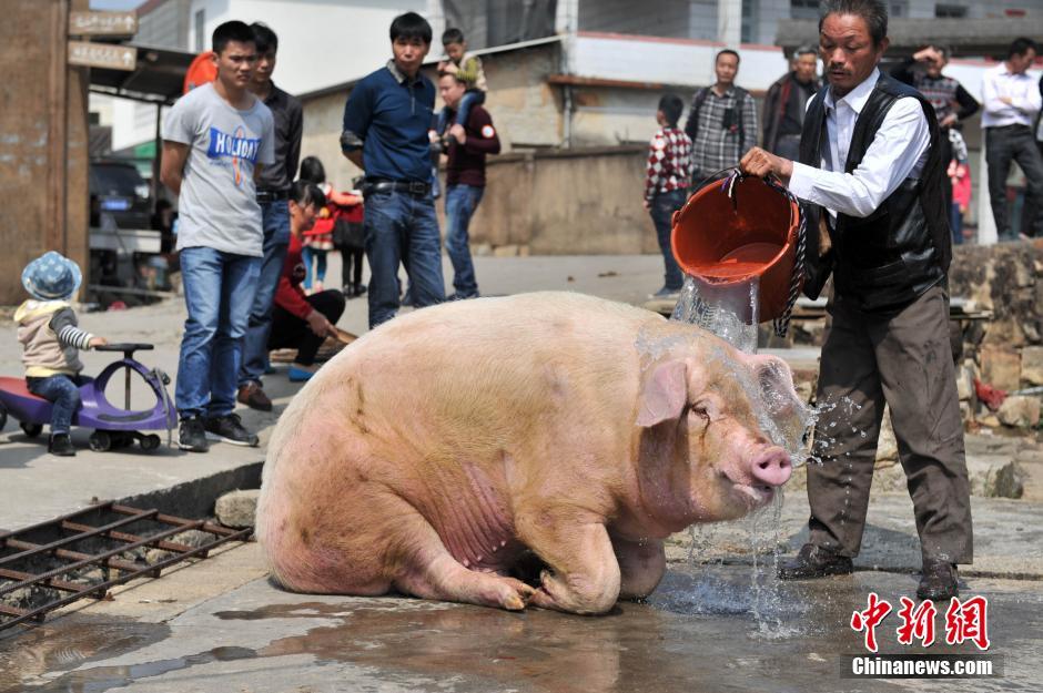 """福建上演一年一度""""赛大猪""""民俗活动"""
