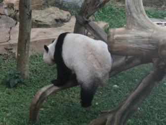 'I never get bored watching the giant pandas!'