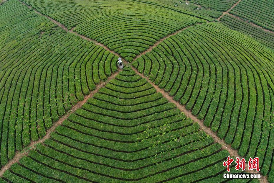贵州明前茶开摘 俯瞰茶园宛如大地指纹