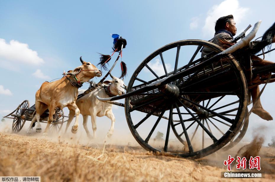 柬埔寨举行牛车赛跑 迎接高棉新年