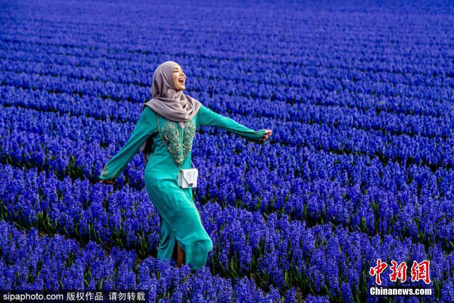 荷兰风信子进入盛放期 蓝色花田美到窒息